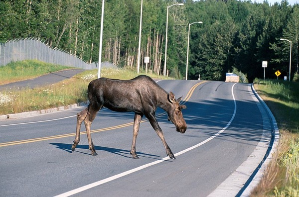 Moose crossing road in Alaska