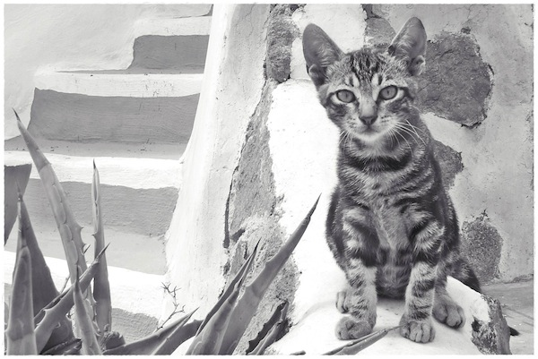 Strongyli Kittens IL