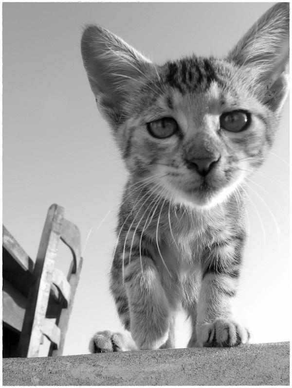 Strongyli Kittens LI
