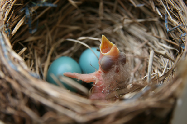 The ubiquitous and loquacious robin.