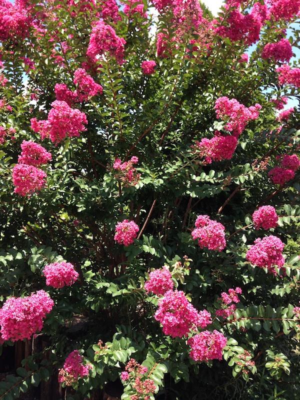Crepe Myrtle in bloom.