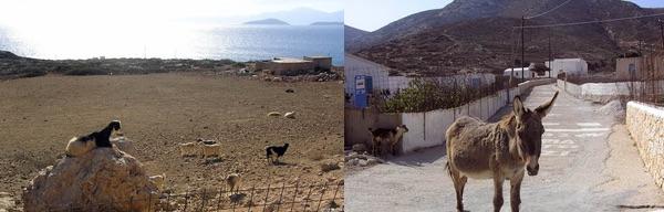 A posing goat & The Kalotaritissa donkey.