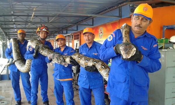 A Malaysian reticulated python.