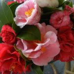 Camellia bowl in February.
