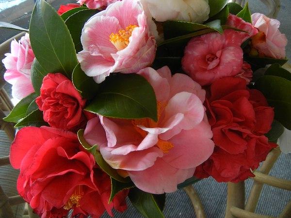 Camellia bowl in February.
