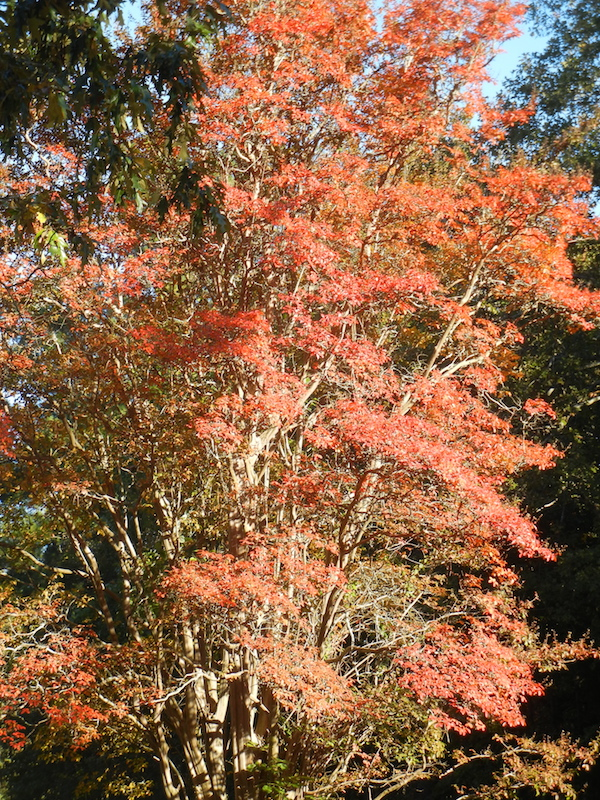 Crepe Myrtle in the fall.