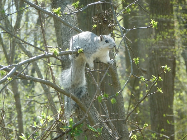 Fox squirrel.