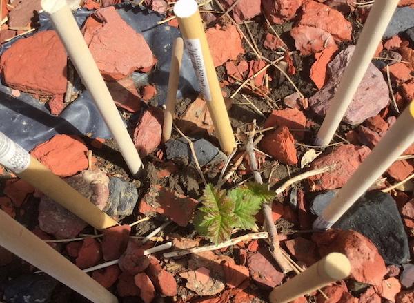 I found the stub bearing a few microscopic leaves.