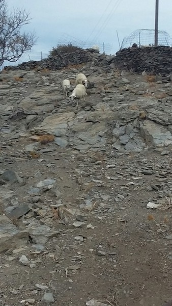 The first of the flock of about 20 sheep coming for theirsnack. You can see why they are so eager.