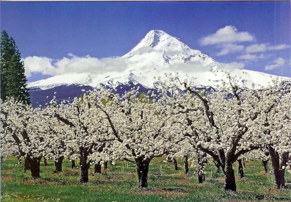 Pear trees in the Upper Hood River Valley, April.