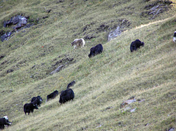 Yaks on the mountainsides.