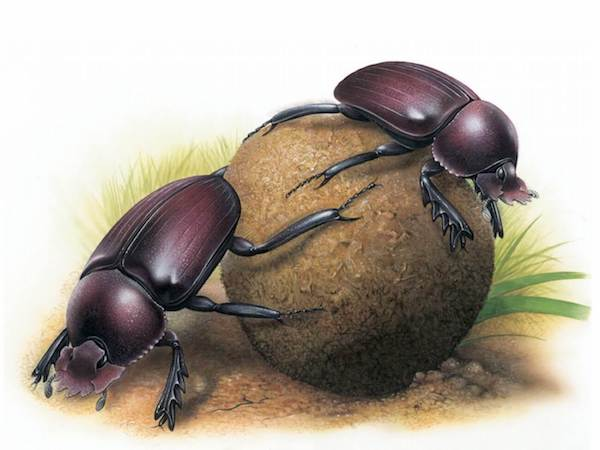 """Dung Beetles,"" © Steve Roberts / Footprint Design, Painting commissioned for the 2008 International Congress of Entomology in Durban, South Africa."