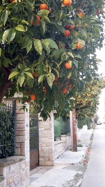Bitter orange trees are found all over the city, from Syntagma to the suburbs.